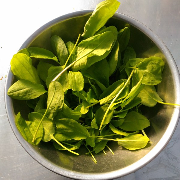 Green Leaf Sorrel