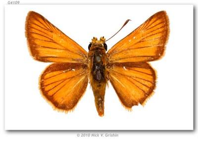 Anatrytone mazai (type specimens)