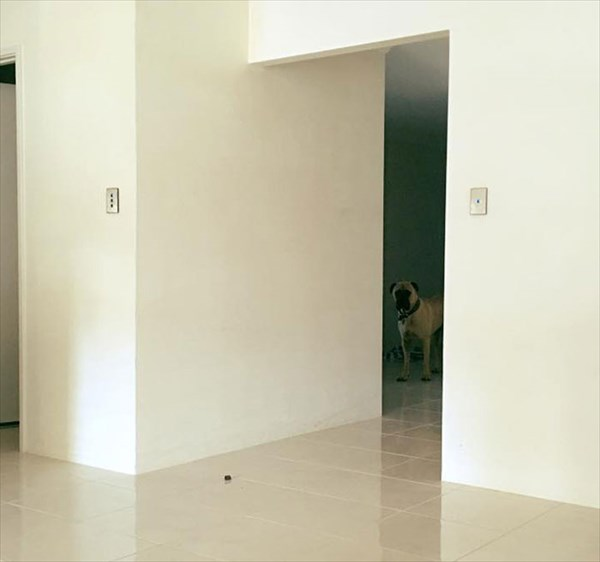 creepy-dog-stalks-owner-cyrus-bullmastiff-lauren-birney-11_R