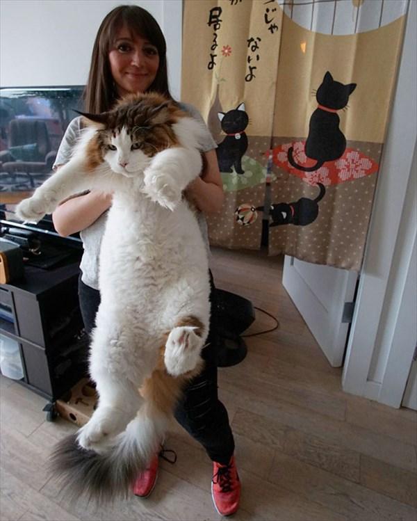 largest-cat-nyc-samson-jonathan-zurbel-19_R