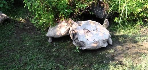 ひっくり返ってしまった巨大な亀を、亀が助ける友情