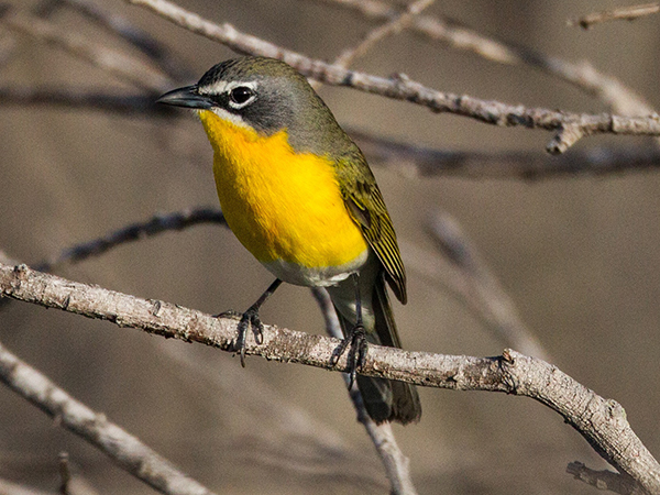 Yellow-breasted Chat by Steve Brad