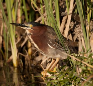 Green Heron San Dieguito horse ranch 2010 01 28 (1 of 1).CR2