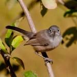California Gnatcatcher  Encinitas 2012 10 13 (4 of 5).CR2