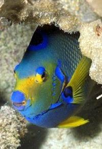 Queen Angel Fish - BVI Snorkelling