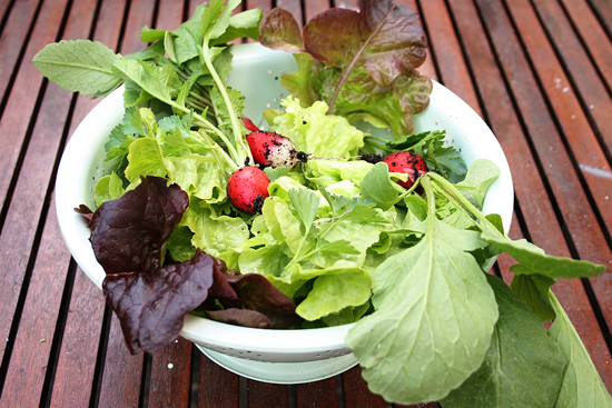 first harvest: salad from the garden