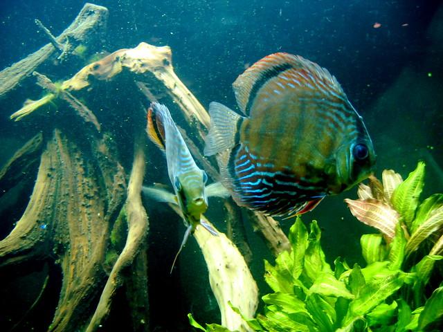 discus fish 02 | at the steinhart aquarium in san francisco | By