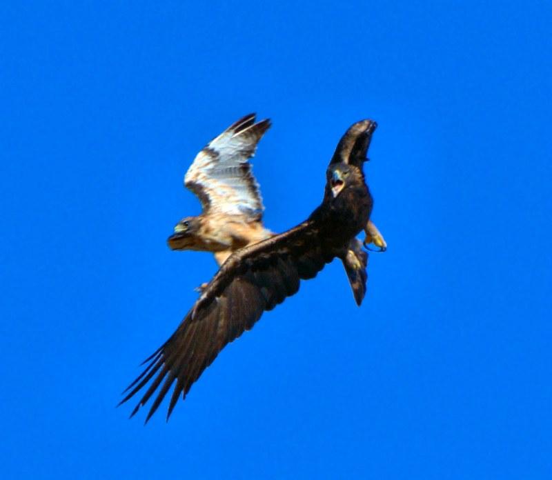 Large Of Eagle Vs Hawk