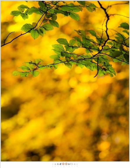 Het contrast: de laatste groene beukenbladeren tegen het gouden bladerendek van de in herfsttooi geklede beukenbomen (ISO200, f/4, 1/200, -0,6EV,  160mm brandpunt)