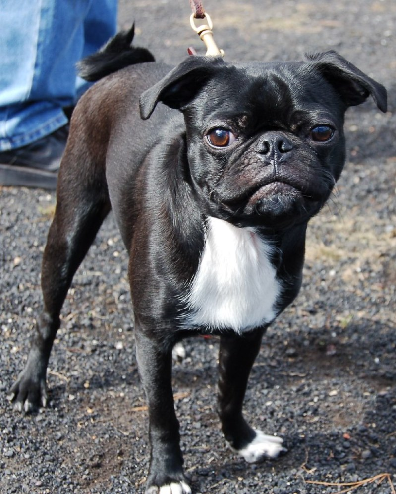 Large Of Boston Terrier Pug Mix