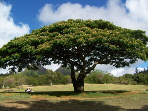 Medium Of Monkey Pod Tree