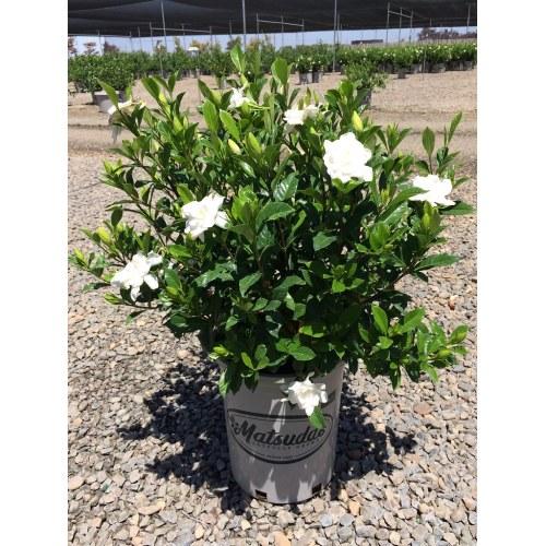 Medium Crop Of August Beauty Gardenia