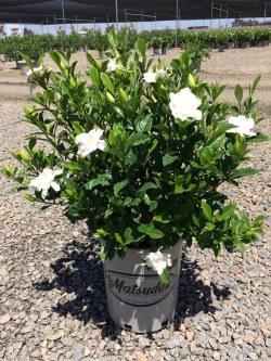 Small Of August Beauty Gardenia
