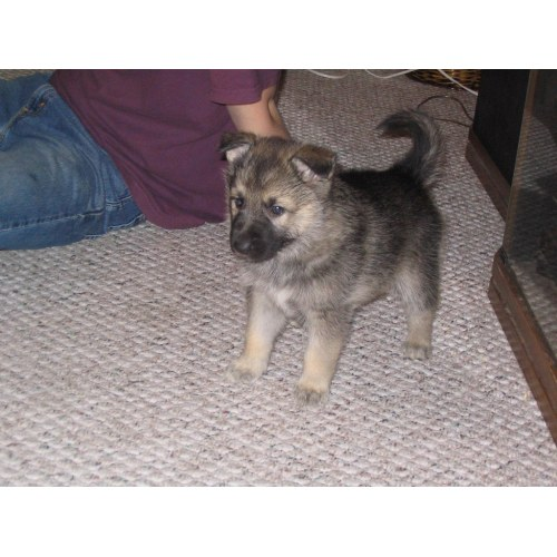 Medium Crop Of Malamute Wolf Mix