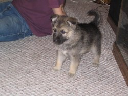 Small Of Malamute Wolf Mix