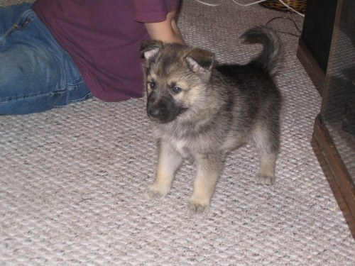 Medium Of Malamute Wolf Mix