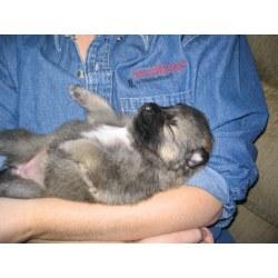 Small Crop Of German Shepherd Wolf Mix