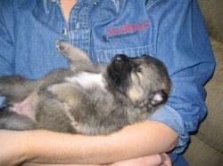 Small Of German Shepherd Wolf Mix