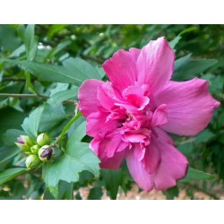 Small Crop Of Rose Of Sharon Bush