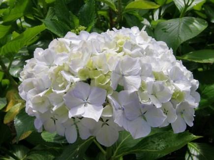白色绣球花