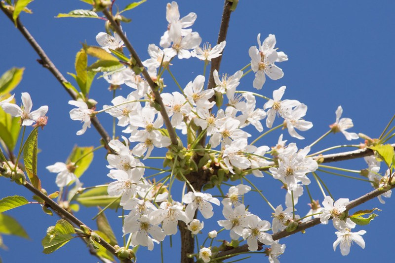 Wild Cherry in full bloom.
