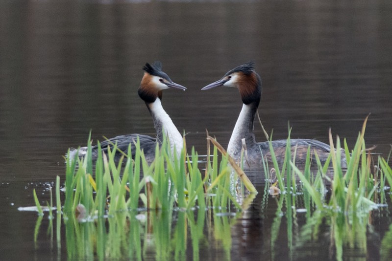 Great Crested Grebes at Meresands Wood.