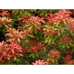 Small Crop Of Mountain Fire Pieris