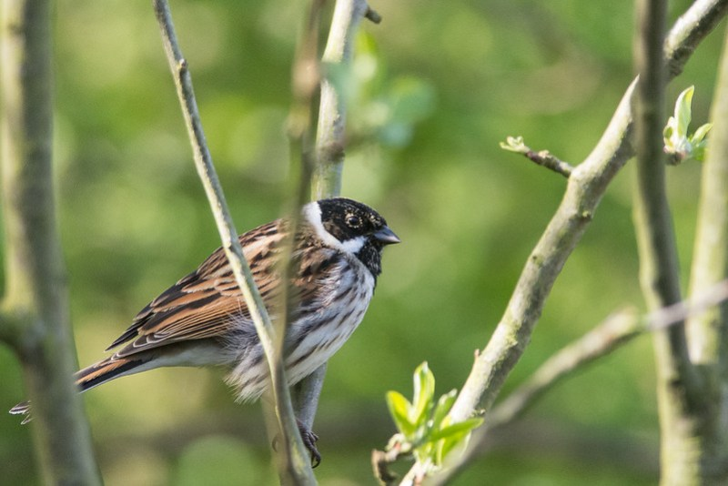 A very smart looking male Reed Bunting