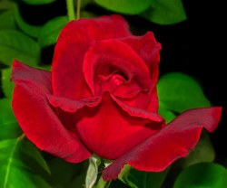 Small Of Mr Lincoln Rose