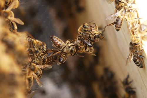 Baukette aus Bienen