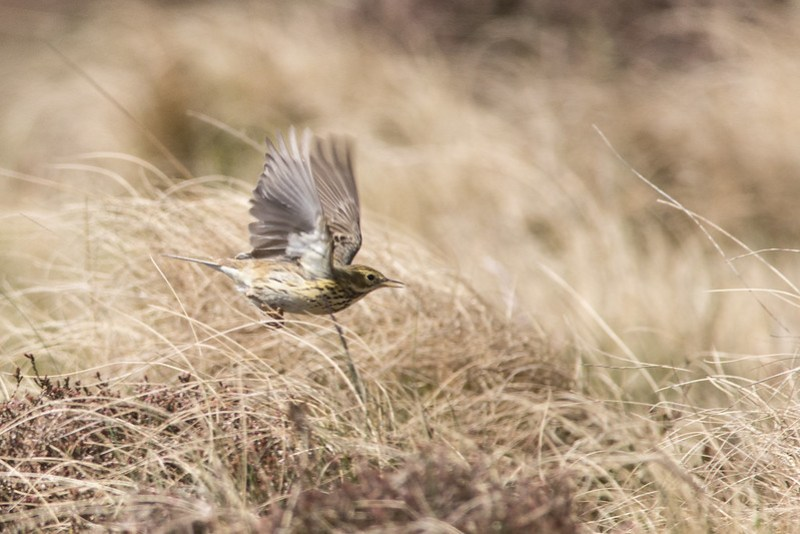Meadow Pipit take-off.
