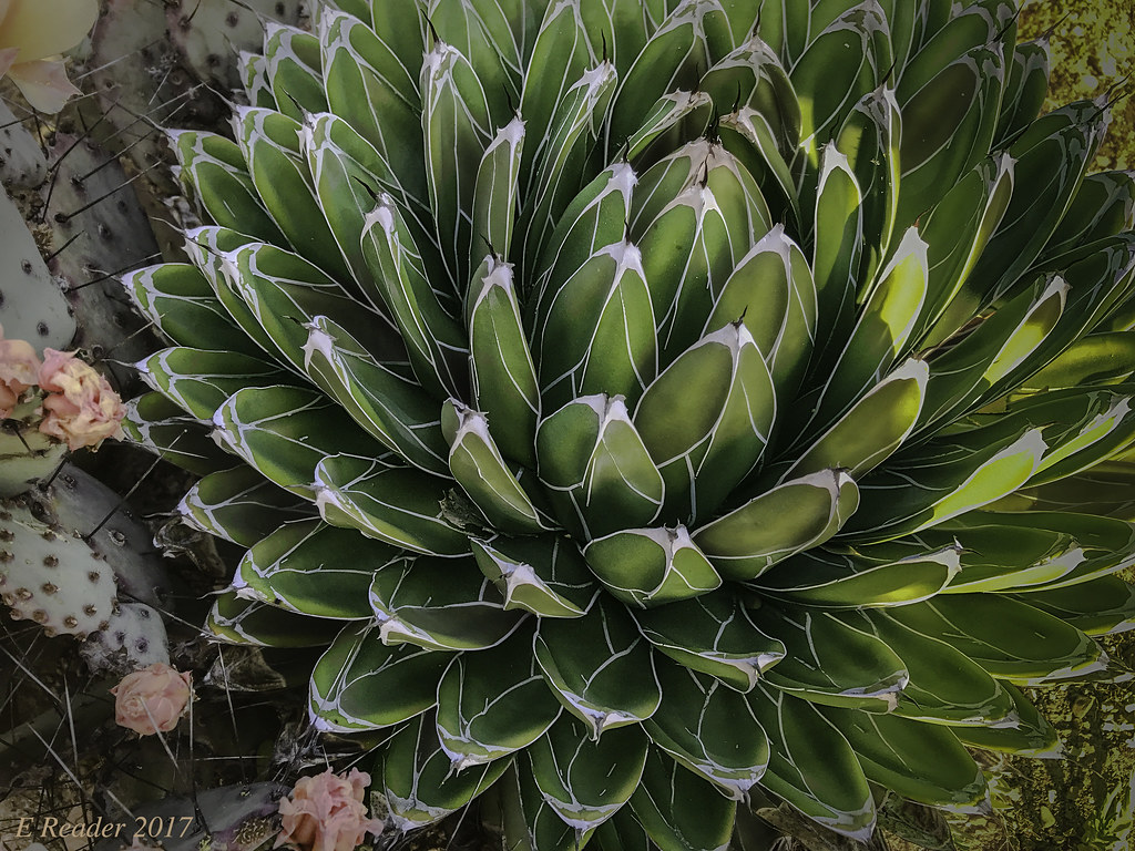 Intriguing Sale Queen Victoria Agave Victoriae By Est Pakaphotography Queen Victoria Agave Victoriae A Small Flickr Queen Victoria Agave Turning Yellow Queen Victoria Agave houzz 01 Queen Victoria Agave