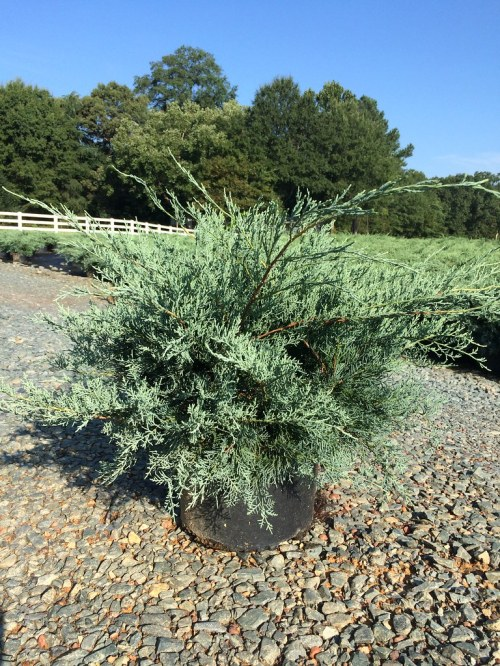 Medium Of Grey Owl Juniper