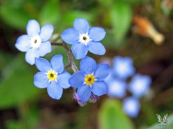 Small Of Forget Me Not Seeds