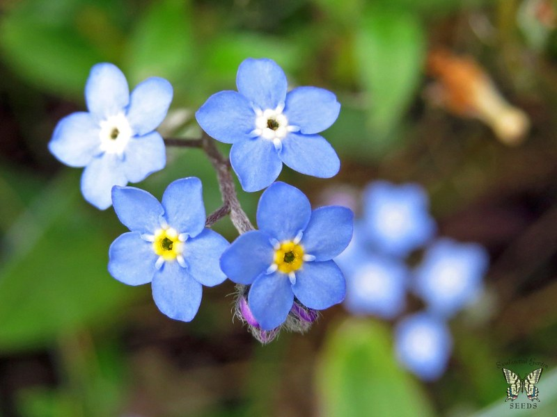 Large Of Forget Me Not Seeds