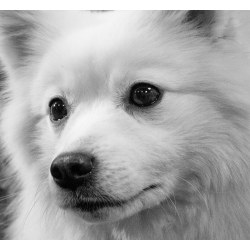 Small Crop Of White Fluffy Dog