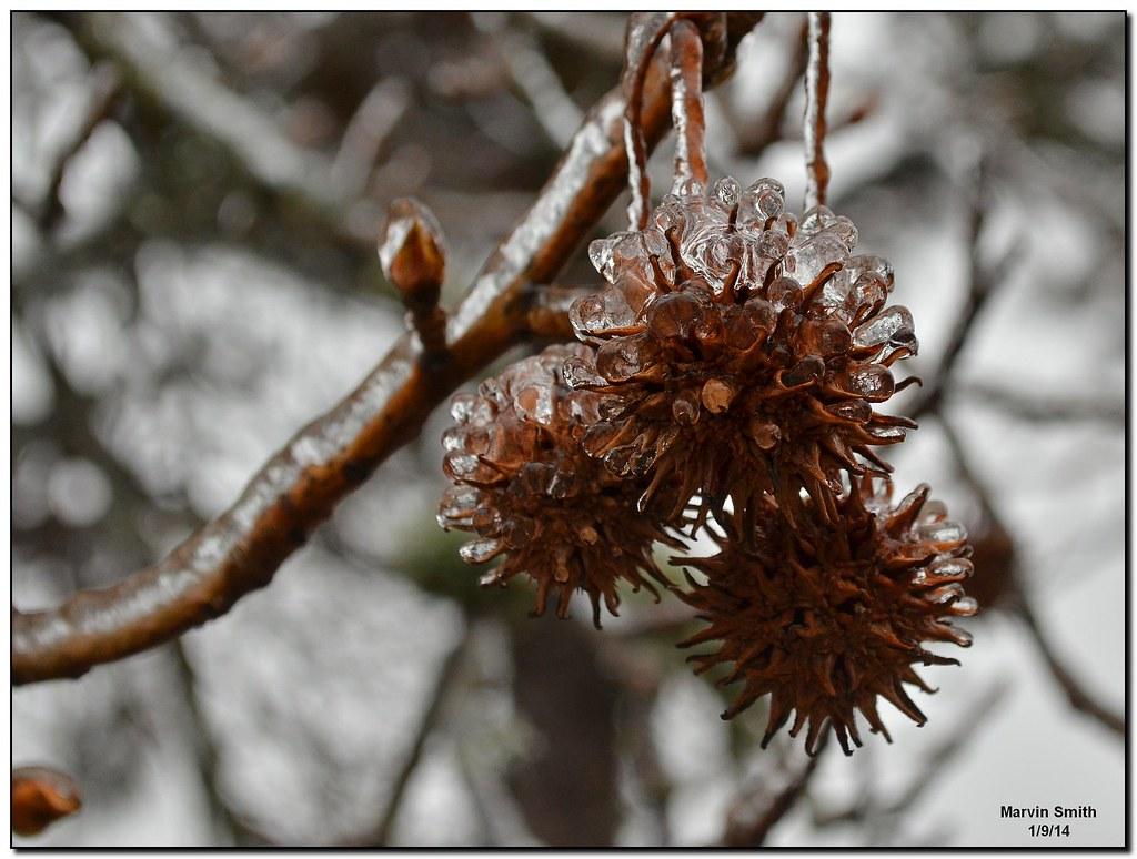 Fullsize Of Sweet Gum Tree Balls