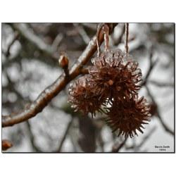 Small Crop Of Sweet Gum Tree Balls