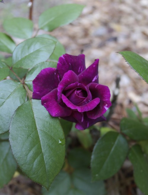 Medium Of Blue Girl Rose