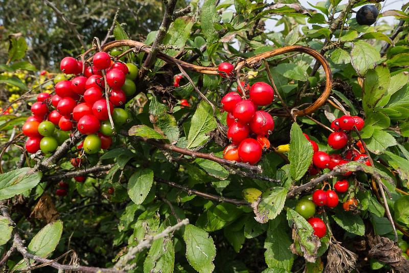 Black Bryony in fruit