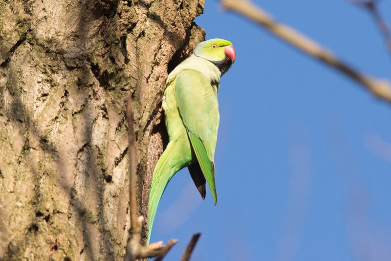 Ring-necked Parakeet close to Chorlton Water Park