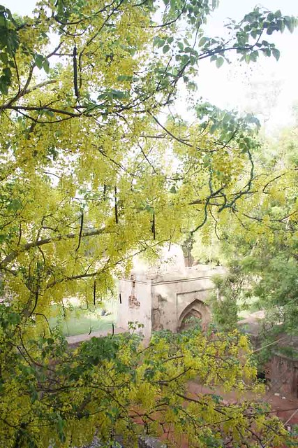 City Season – Amaltas Trees, Hauz Khas Village