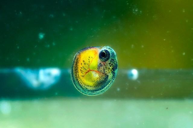 fish embryo | Flickr   Photo Sharing!