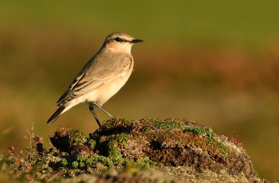 Isabelline Wheatear, Godrevy, S.Rogers