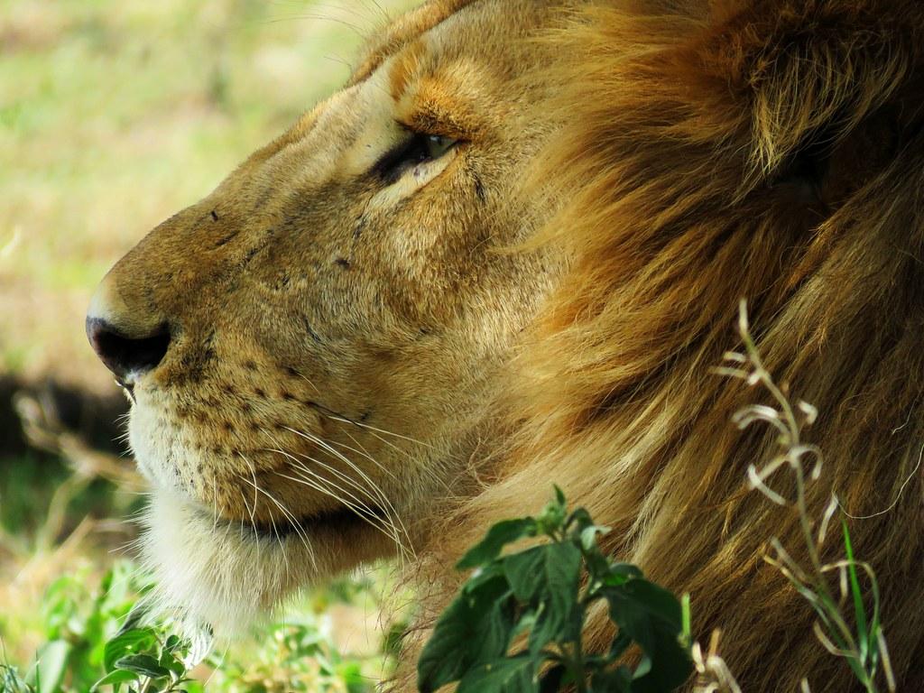 Imagen gratis de un León en primer plano