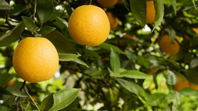 citrus-concordia