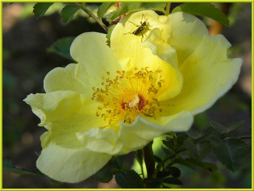 "The first roses of the season : ""Rosa Hugonis."""