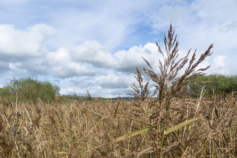 North-west England's largest reedbed