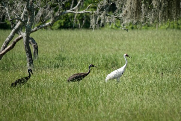 Whooping Crane and two Sandhill Cranes