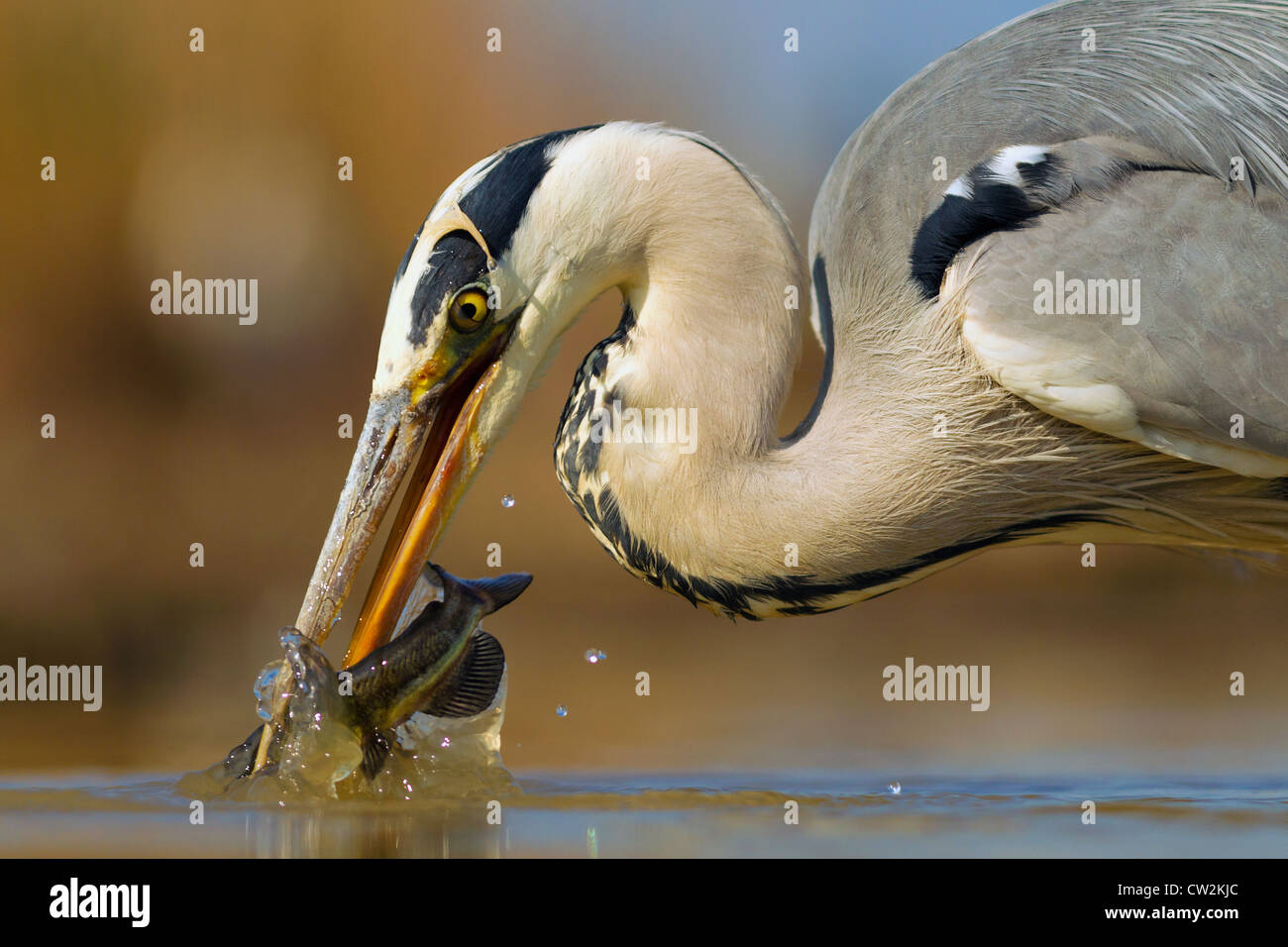 A Grey Heron Bird Stock Photos   A Grey Heron Bird Stock Images   Alamy Grey Heron Ardea cinerea with a fish in its beak Hungry   Stock